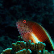 Freckled Hawkfish, Paracirrhites forsteri,  carefully watching the reef in the Mergui Archipeligo, Burma.