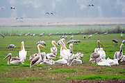 Israel, Hula Valley, Grey Cranes (Grus grus) and White Pelican, (Pelecanus onocrotalus) at the Agmon lake winter