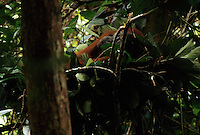 A female Bornean Orangutan (Pongo pygmaeus) named Beth lying in her nest in the trees after waking up in the morning.