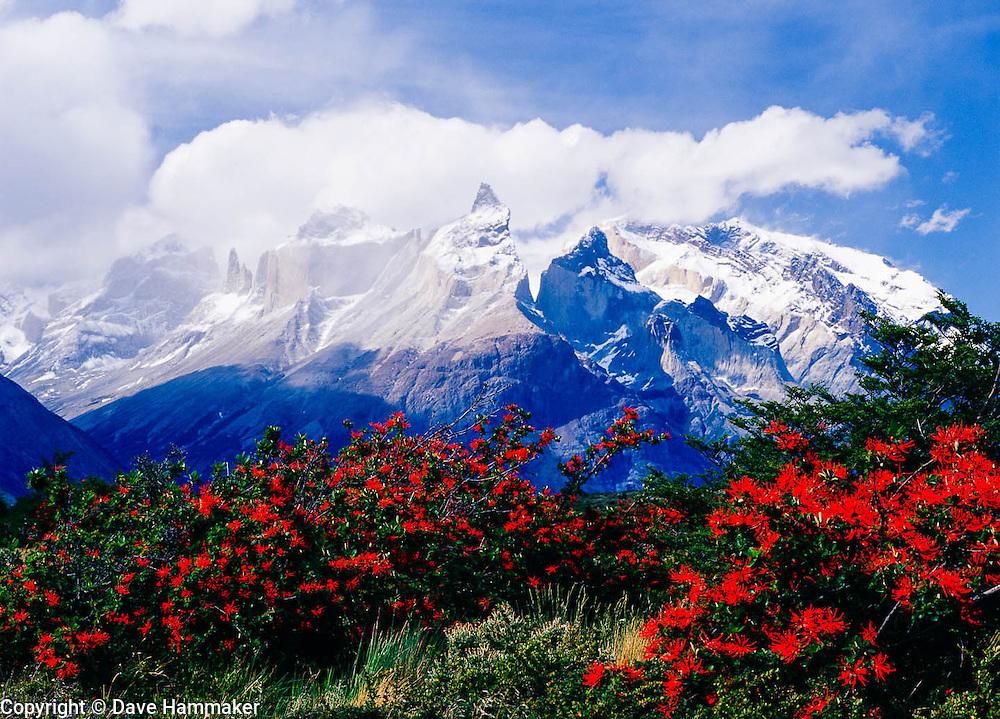 Chilean Firebush, Torres del Paine National Park, Chile