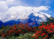 Chilean Firebush, Torres del Paine National Park, Chile