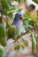 KOLUMBIEN - TAGANGA - Papagei auf einem Baum - 22. März 2014 © Raphael Hünerfauth - http://huenerfauth.ch
