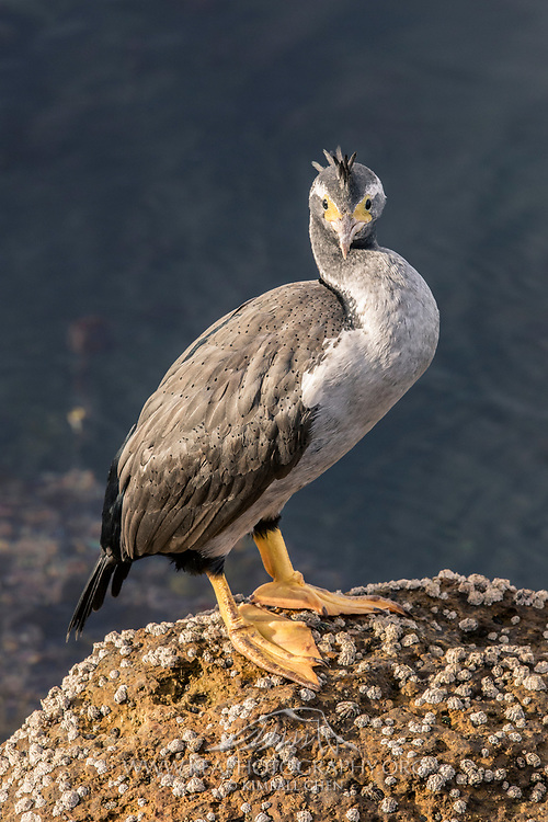 A female spotted shag sporting a mohawk, Catlins, New Zealand