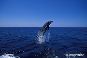 bottlenose dolphin, Tursiops truncatus (c-r)<br /> jump sequence (#1 of 3)<br /> Roatan, Honduras ( Caribbean Sea )
