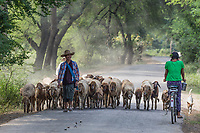 CHAUNG-U, MYANMAR - DECEMBER 01, 2016 : burmesse shepherd walking with his herd  on the road near Monywa