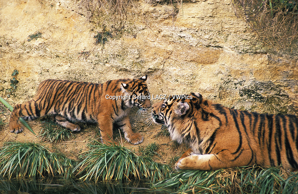 Sumatran Tiger,   panthera tigris sumatrae, Mother and Cub