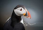 Portrait of an Atlantic puffin on Staffa island, Scotland.