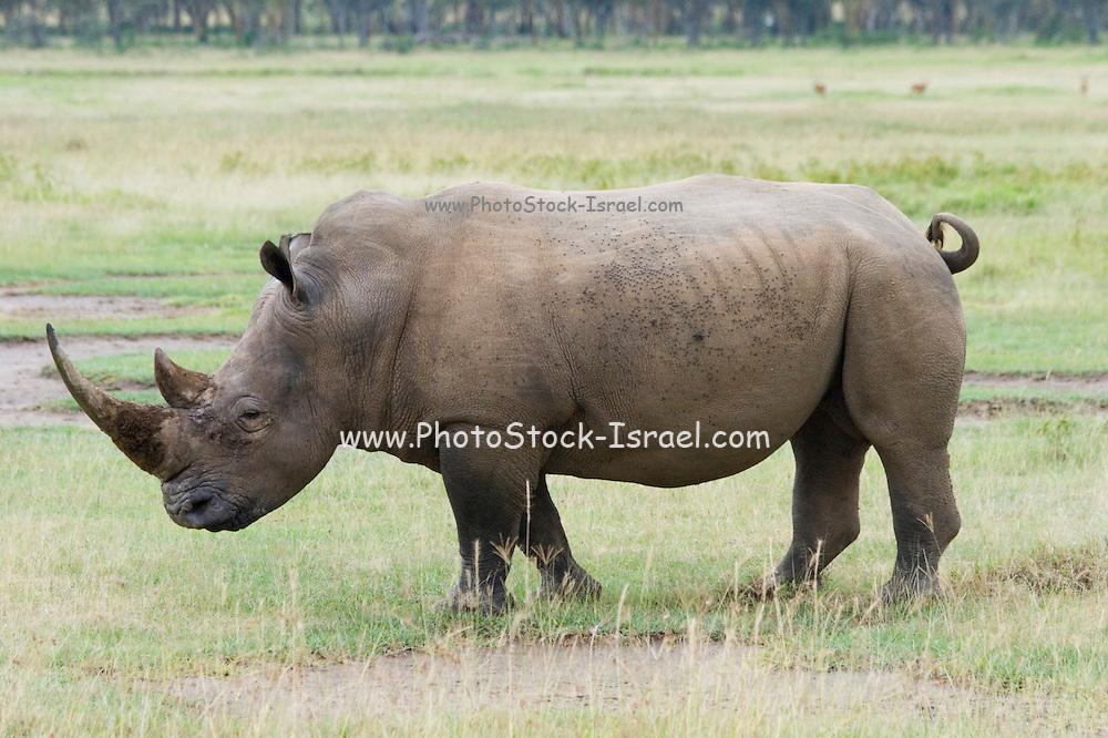 Kenya, Lake Nakuru National Park, Rhinoceros, side view, February 2007
