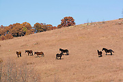 Oklahoma OK USA, Horses grazing in the Osage Indian reservation Wah Sha She state park