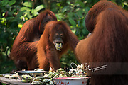 A juvenile Bornean orangutan eats bananas with other adult orangutans at a feeding station for rehabilited and released orangutans in Tanjung Puting National Park, Indonesia.