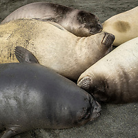 Southern elephant seal weaners cuddle together on a beach at Gold Harbour on South Georgia Island.
