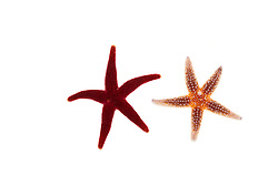 A blood star (family Henricia) and a northern sea star Asterias vulgaris (right) found in Rye, New Hampshire.