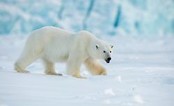 Polar bear (Ursus maritimus) in front of glacier in Spitsbergen, Svalbard, Norway
