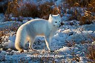 01863-01218 Arctic Fox (Alopex lagopus) in snow in winter, Churchill Wildlife Management Area, Churchill, MB Canada