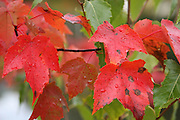 Close up of red maple leaves