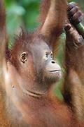 Profile of Young Bornean Orangutan, Pongo pygmaeus morio, Orang Utan Sanctuary Sepilok, Sabah, Borneo