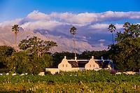 Vineyards, Allee Bleue Wine Estate, Groot Drakenstein, Cape Winelands (near Cape Town), South Africa.