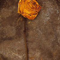 Squashed dried rose once yellow and now brown lying with its stem on tarnished metal plate