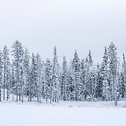 This small group of trees seemed to huddle together as if they were ready for a group photograph. Once again, the image is a colour image, but the day was colourless as it was overcast and there was lots of snow on the ground.