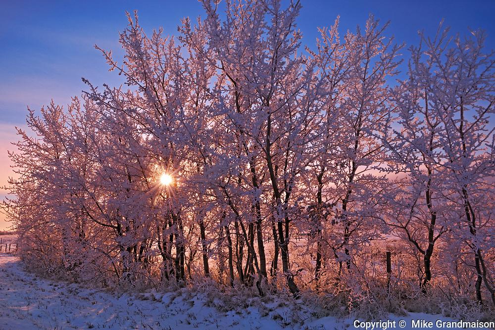 Hoarfrost on shelterbelt trees at sunset, Near Moose Jaw, Saskatchewan, Canada