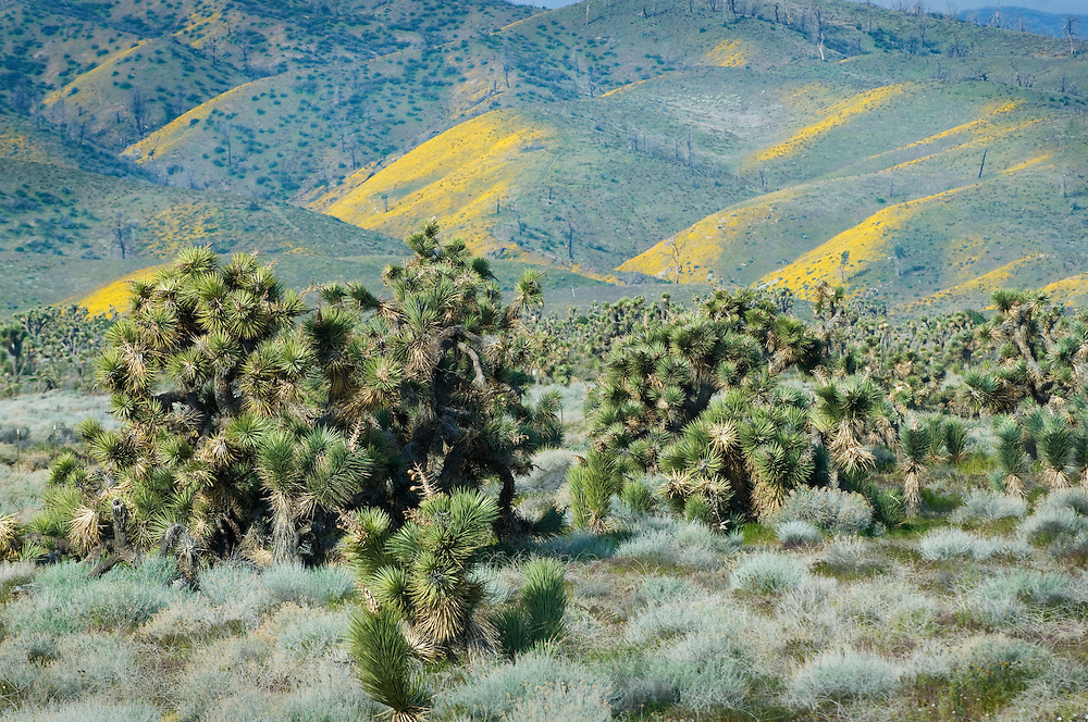 A Joshua Tree Woodland reserve in the Mojave Desert, California.  The Joshua Tree is actually a member of the Lily family.