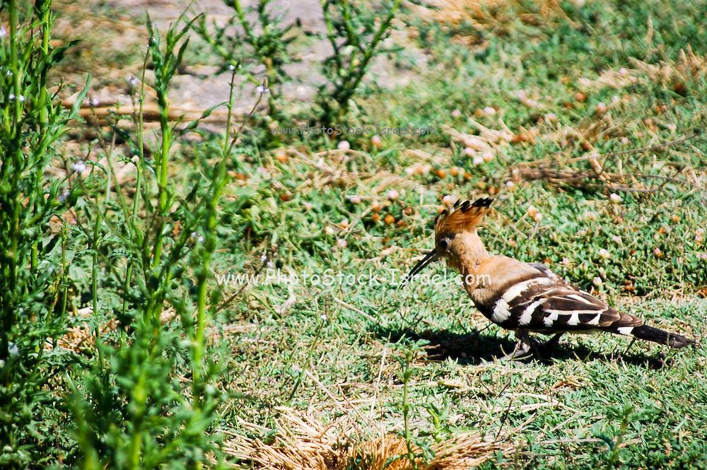 Hoopoe, Upupa epops browsing for food in a garden Israel, Summer June