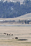 Bison Calf, Baby bison, Calf, Baby, Cow Bison, Female Bison, Bison, Buffalo, Yellowstone National Park, Yellowstone, Wyoming