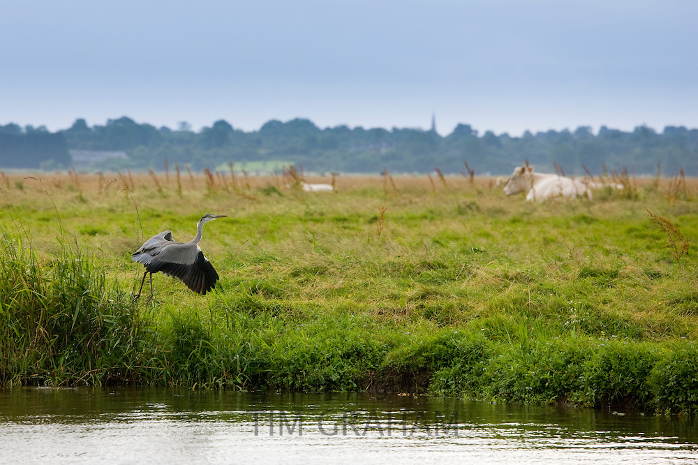 Great Heron takes flight beside cattle by Douve River in Les Marais de la Douve marshes, Normandy, France