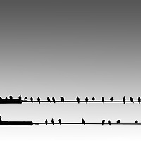 The silhouettes of birds sitting side by side on electric lines.
