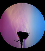 A schlieren image of the aroma rising from a rose.  To increase the visualization of air flow around the rose, and show how smells are transported in the air - the rose was misted with pure alcohol.   The schlieren image identifies areas of different index of refraction.