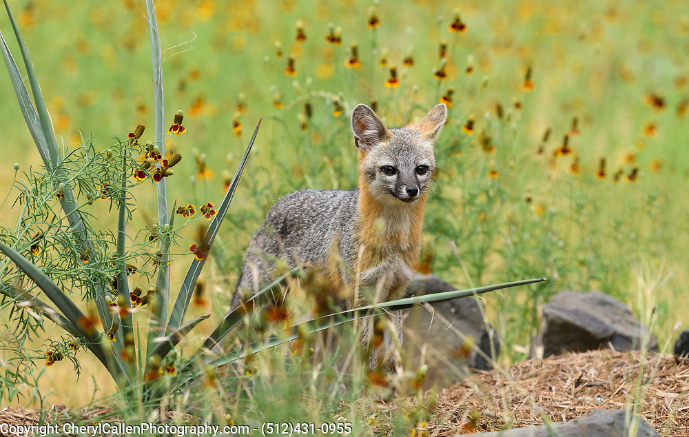 Female Gray Fox walking through the wildflowers