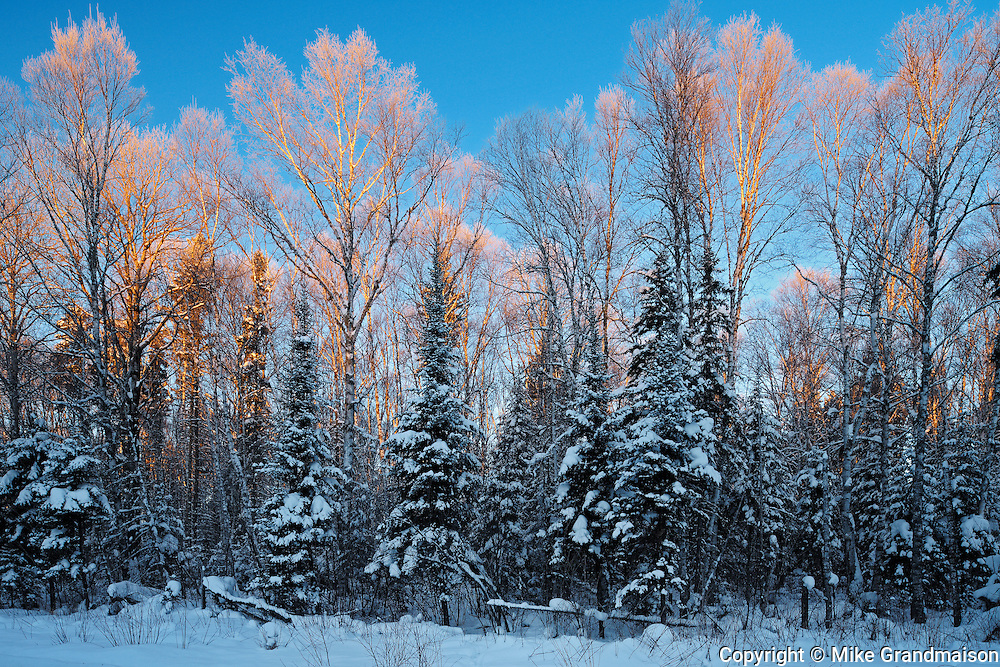 First light on boreal forest in winter<br /> Ear Falls<br /> Ontario<br /> Canada