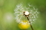 Photo dandelion flower, matted print, wall art, macro, close up. California nature, garden, photography. Santa Monica, Westside, Venice, Los Angeles, Fine art photography limited edition.