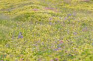 Spiel des Windes in einer blühenden Blumenwiese mit viel Klappertopf (Rhinantus sp. hellgelb), Wiesensalbei (Salvia pratensis, blau) und Saat-Esparsette (Onobrychis viciifolia, rosa) an einem Frühlingstag im Juni an den Südhängen oberhalb des unterengadiner Dorfes Sent
