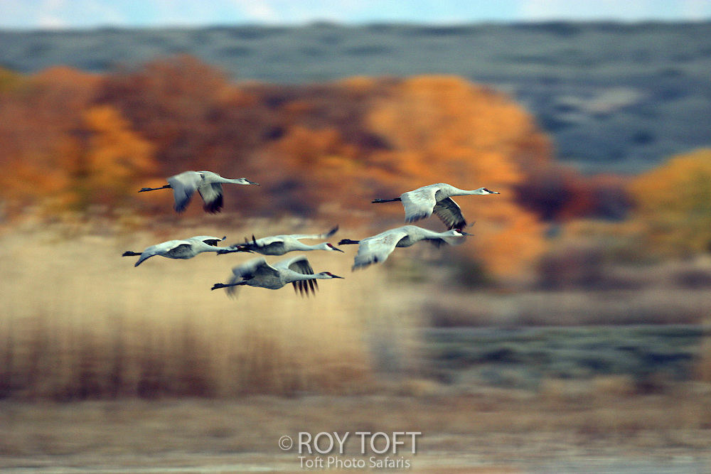Flock of Sandhill Cranes (Grus canadensis) in flight over Bosque del Apache National Wildlife Refuge, New Mexico, USA.