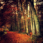 Beech tree  forest on an autumn morning - texturized photograph<br /> <br /> Prints &amp; more: http://society6.com/DirkWuestenhagenImagery/Red-Forest-O34_Print