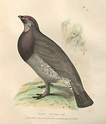 Male dusky grouse (Dendragapus obscurus syn Tetrao obscurus) color plate of North American birds from Fauna boreali-americana; or, The zoology of the northern parts of British America, containing descriptions of the objects of natural history collected on the late northern land expeditions under command of Capt. Sir John Franklin by Richardson, John, Sir, 1787-1865 Published 1829
