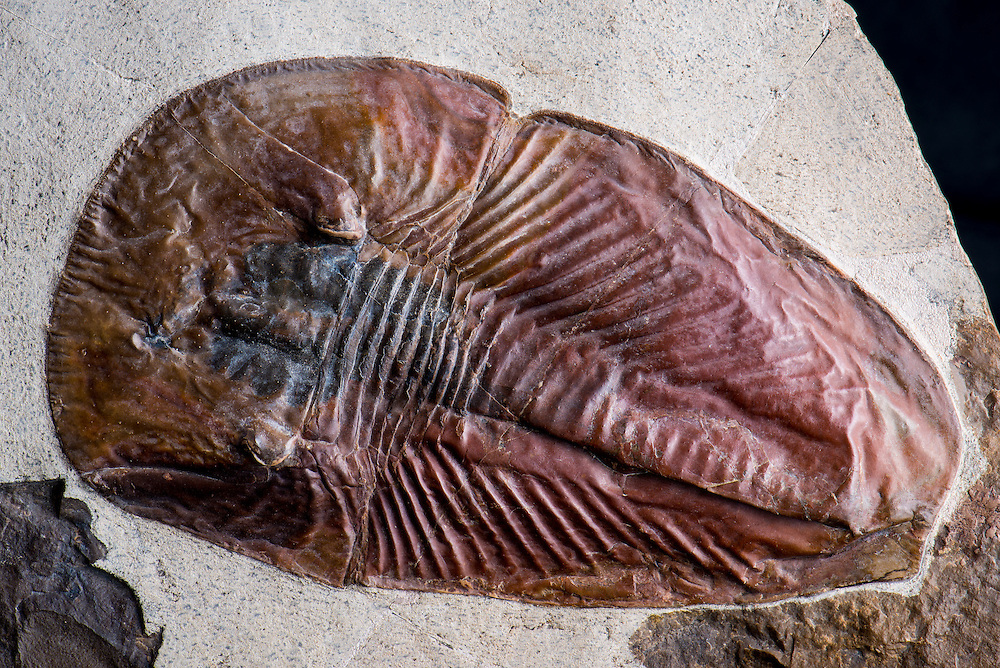 This is one of the last specimens of the exceedingly rare trilobite-like arthropod Phytophilaspis pergamena (sagittal length: 126mm) to come from the thin Algal Lens that hosts this lagerstatte.