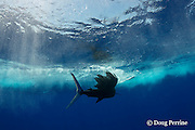 Pacific sailfish, Istiophorus platypterus, escapes to the outside of the lure spread after billing a teaser lure, Vava'u, Kingdom of Tonga, South Pacific