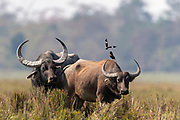 Mating pair of Indian Wild Buffalos (Bulbalus arnee) with two Jungle Mynas in Kaziranga National Park, Assam, north-east India.