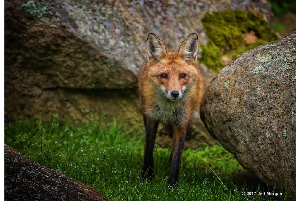 An adult female Red Fox sneaking around a large boulder