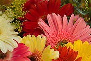 Mixed Gerbra Daisies, Pink, Orange, Yellow, unique, bloom, blooming, blooms, blossom,  Red, color, flora, flower, flowering, flowers, nature,