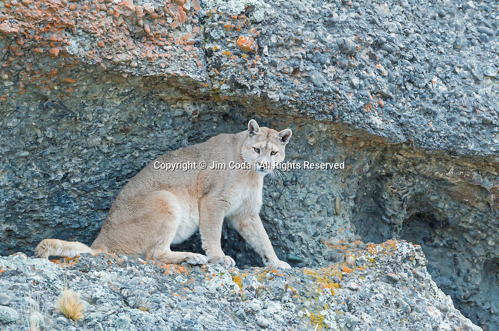 A female puma surverys her territory from a shallow cave.