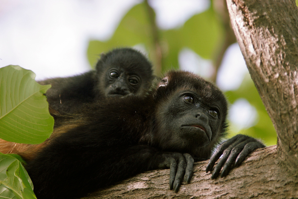 A howler monkey with her young on her back in the trees outside of Tamarindo in Costa Rica.  Tamarindo is a popular tourist beach town in Guanacaste, Costa Rica