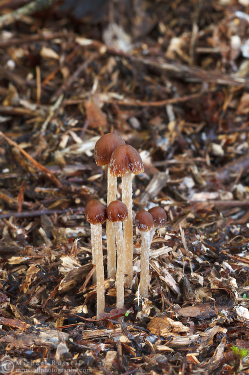 A small group of immature Mycena mushrooms in the Fraser Valley of British Columbia, Canada
