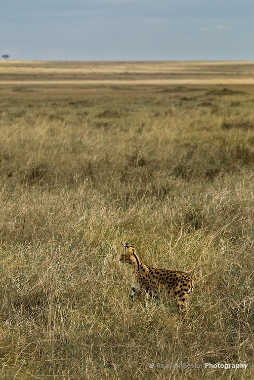 A lone Serval Cat hunting in the Masai Mara National Park, Kenya