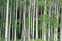 A wall of Summer aspen trees along the banks of Willow Lake in Utah's Big Cottonwood Canyon.