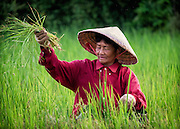 Weeding Rice, Nakhon Nayok, Thailand