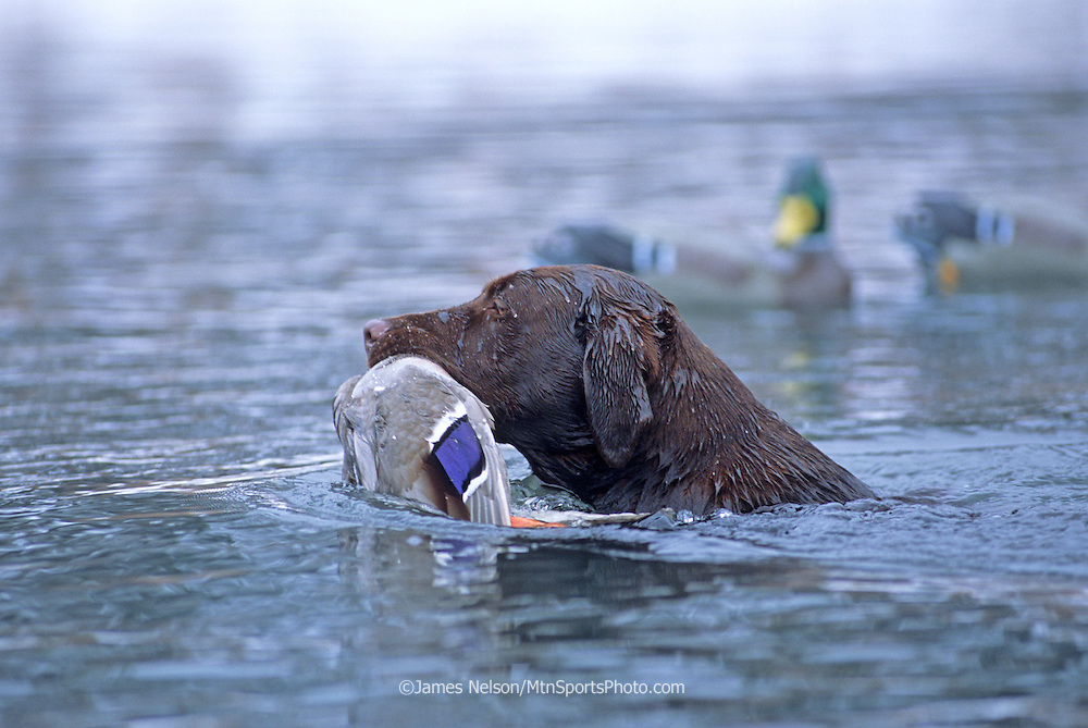 34-685. A chocolate Labrador retriever brings a mallard to the blind on the Snake River, Idaho.