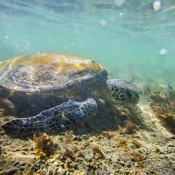 """Tartaruga-verde (Chelonia mydas) fotografado na Ilha de Coroa Vermelha, que faz parte do Arquipélago de Abrolhos, na Bahia -  Sudeste do Brasil. Oceano Atlântico. Registro feito em 2016.<br /> <br /> <br /> <br /> ENGLISH: Green sea turtle photographed in """"Coroa Vermelha"""" Island, which is part of the Abrolhos Archipelago in Bahia - Brazil. Atlântic Ocean. Picture made in 2016."""